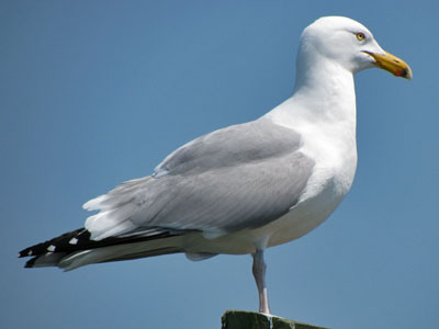 herring gull adult