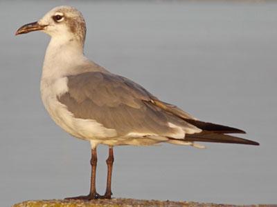 laughing gull winter