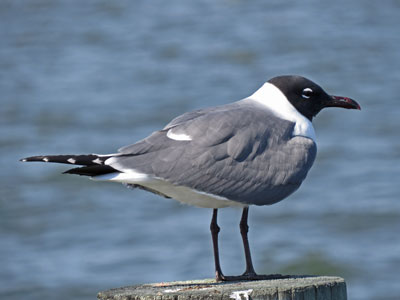 laughing gull summer