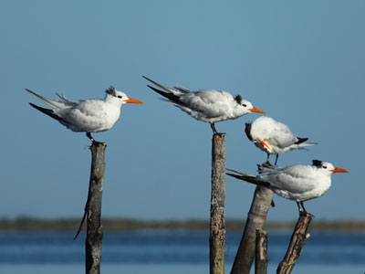 royal terns winter phase
