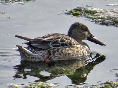 shoveler duck female