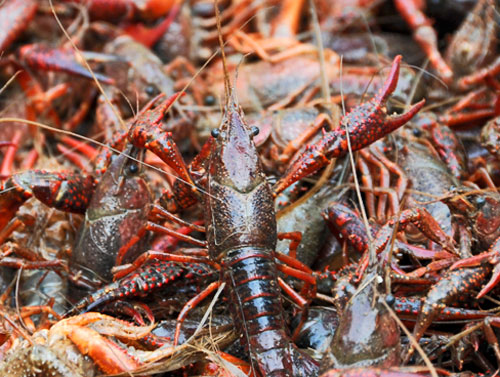 Non-native Red Swamp Crayfish
