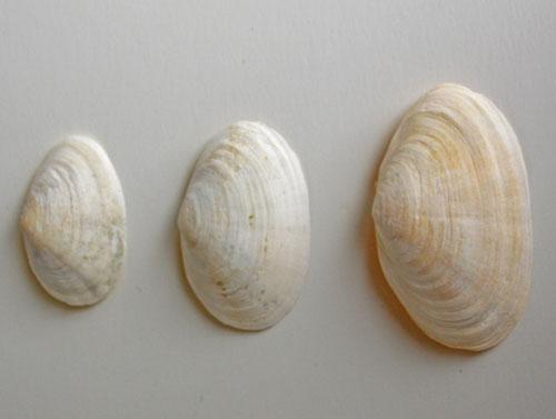 Soft-shelled Clam Shells