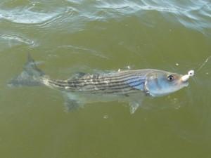 chesapeake bay striped bass