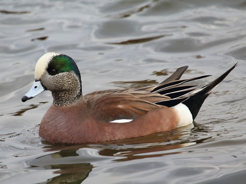 american widgeon drake