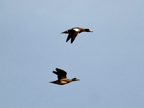 american widgeons flying