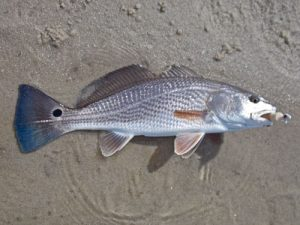 puppy red drum
