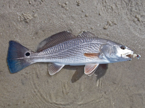 """Puppy"" Red Drum"