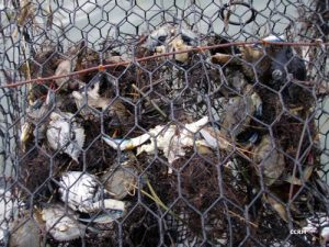 ghost crab pot