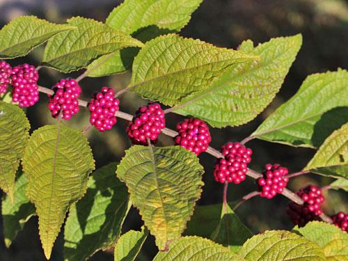 American Beauty-berry