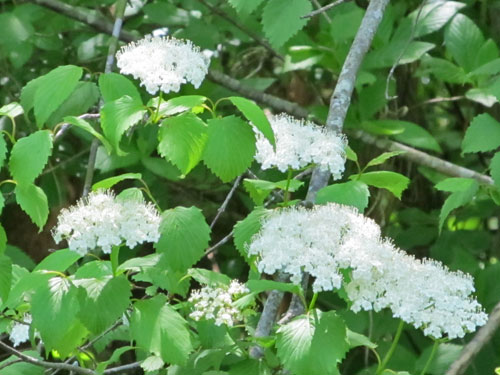 Southern Arrowwood (flowers)