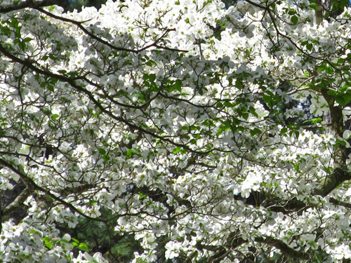 Flowering Dogwood (flowers)