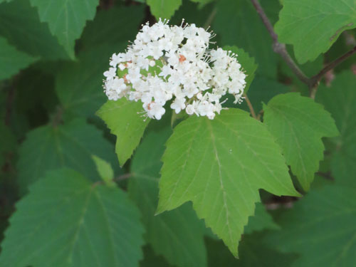 Maple-leaved Arrowwood
