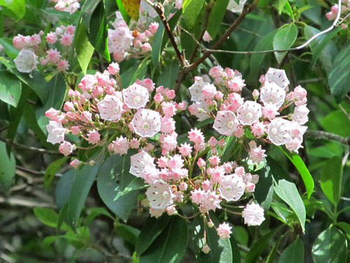 Mountain Laurel (flowers - foliage)