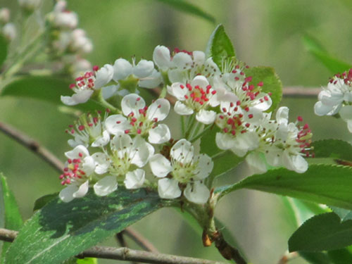 Red Chokeberry flower closeup