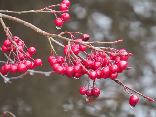 Red Chokeberries winter
