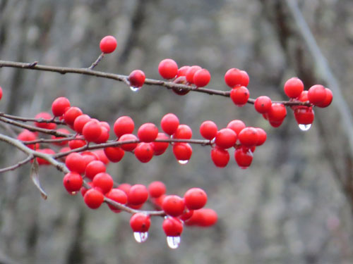 Winterberries (winter)
