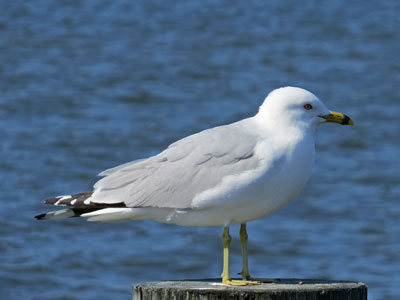 ring-billed gull adult
