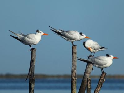 royal terns winter phase