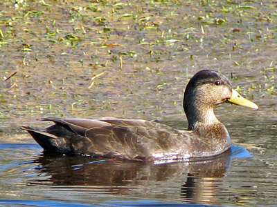 black duck drake