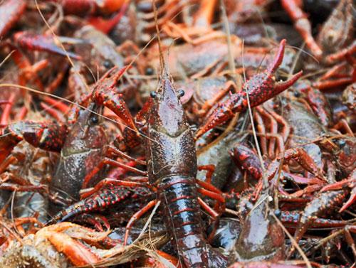 Non-native Red Swamp Crayfish