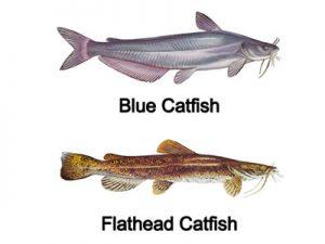 blue and flathead catfish