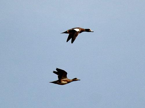 american widgeons flying