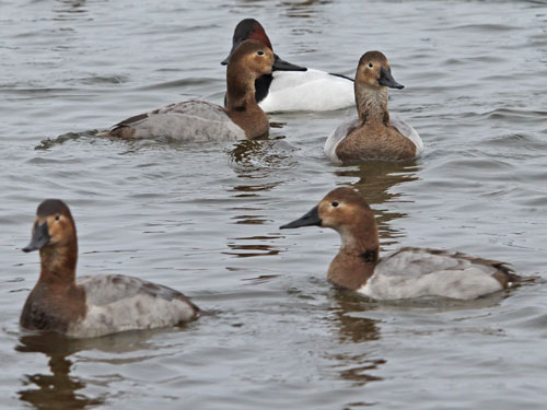 canvasback-duck-hens