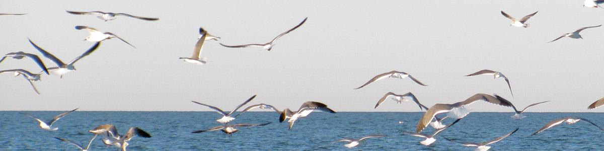 gulls feeding over fish