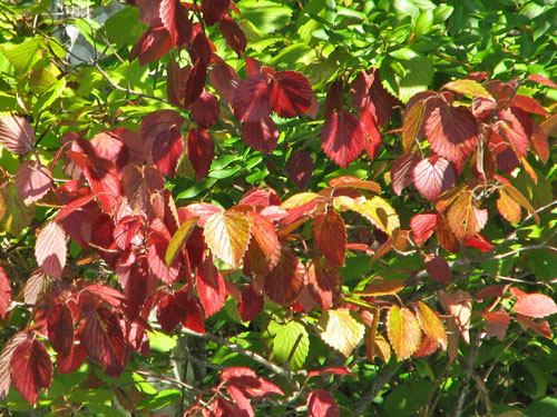 Southern Arrowwood Foliage (fall)