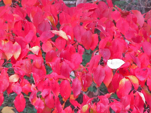 Flowering Dogwood (fall foliage)