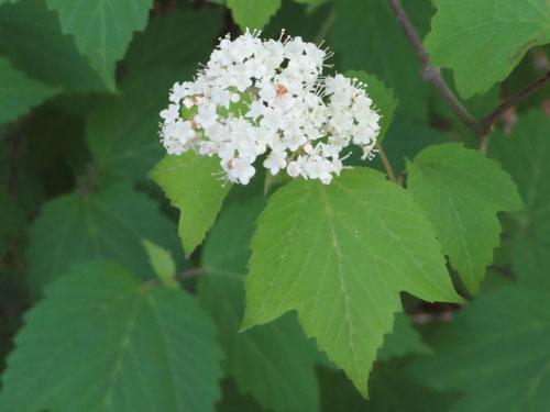 Maple-leaved Arrowwood