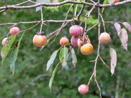 Persimmon (fruit)