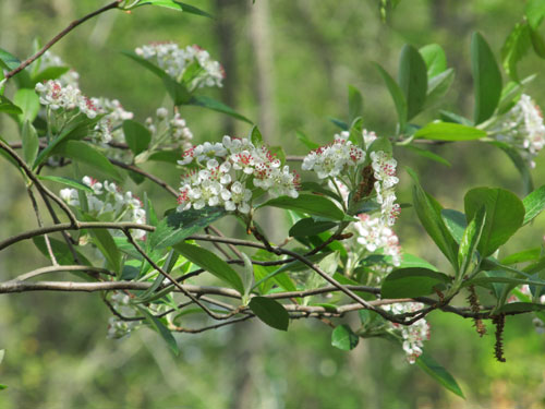 Red Chokeberry flowers
