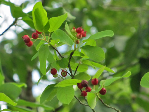 Downy Serviceberry (red berries)