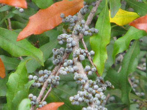 Southern Bayberry