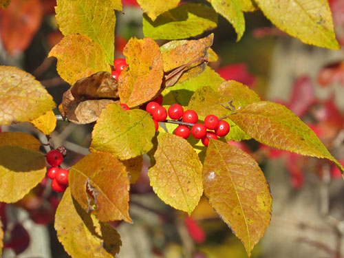 Winterberries (fall)