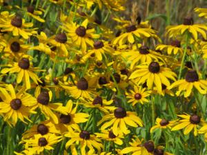 native-plant-black-eyed-susan