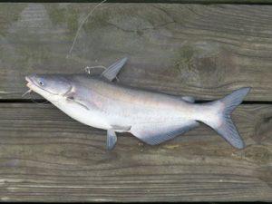 small blue catfish